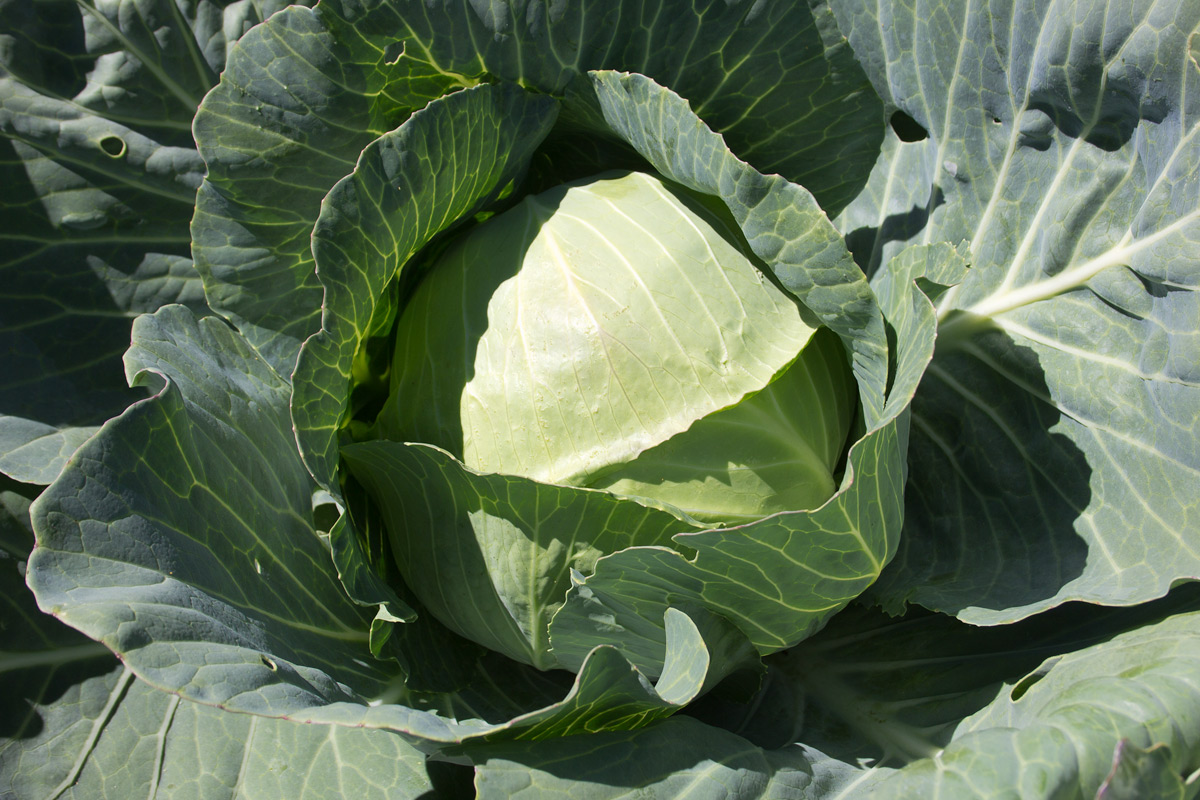 charmant-cabbage-seeds-edmonton-stalbert-holes