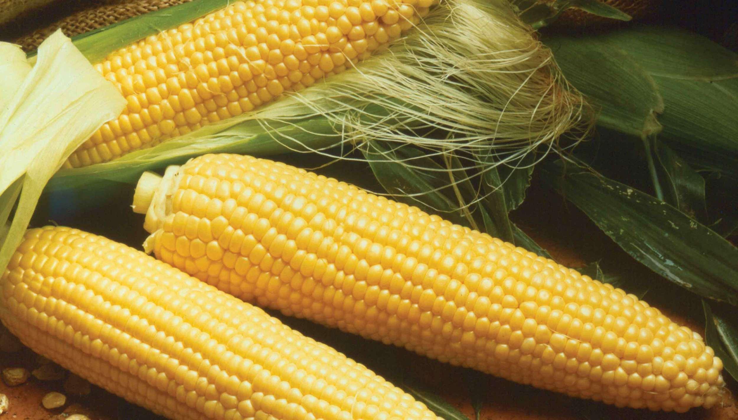 Sweet-corn-kandy-korn-seeds-edmonton-stalbert-yeg