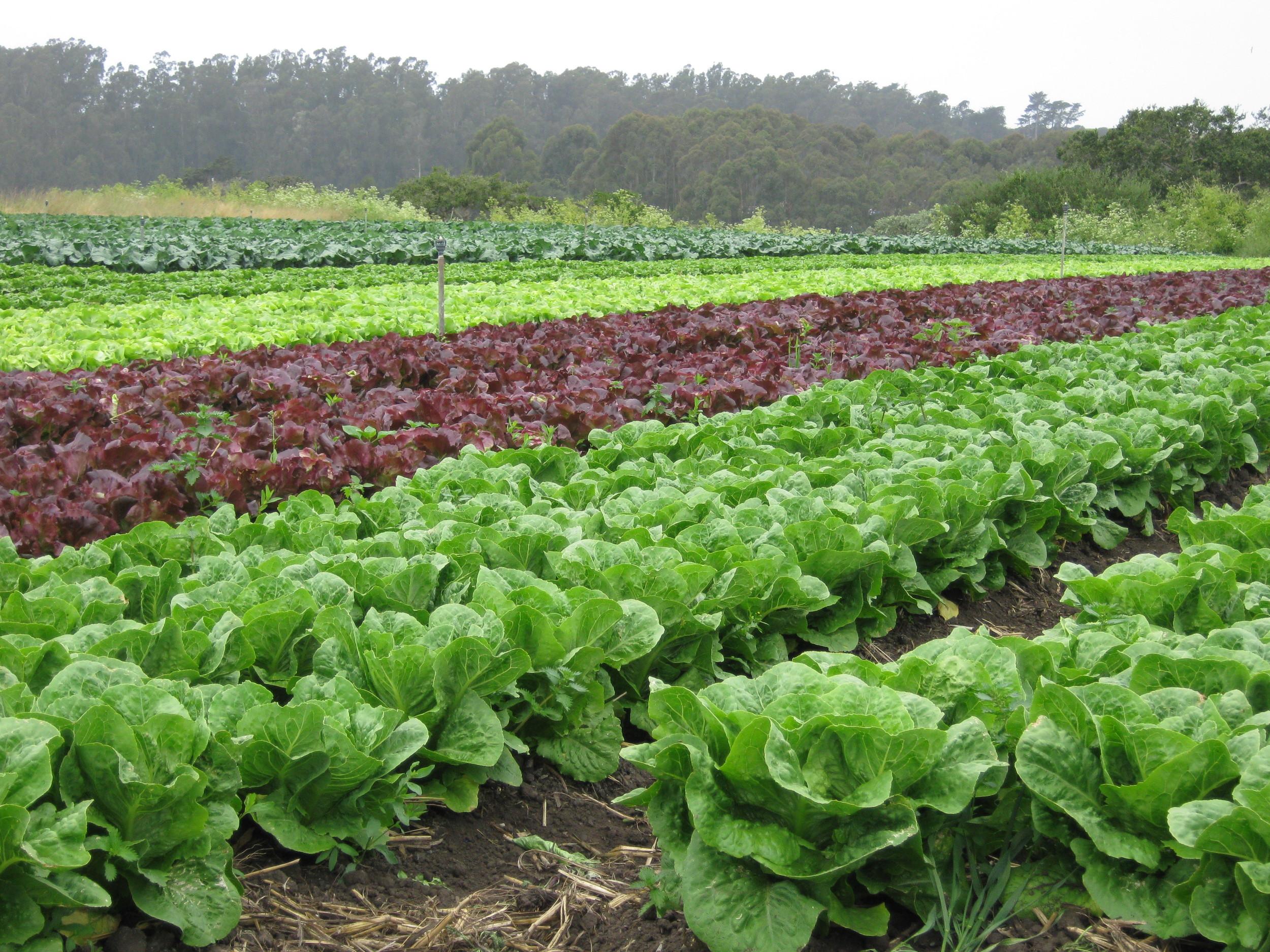 lettuce-field-edmonton-stalbert