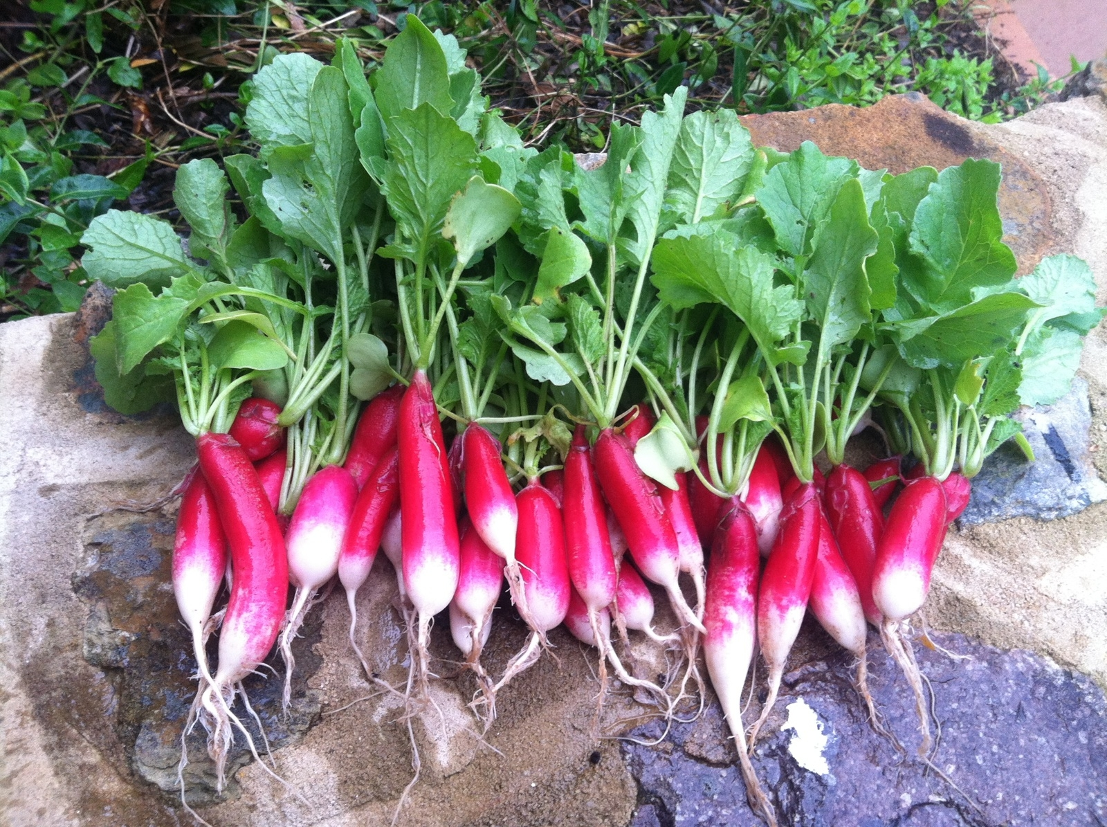 french-breakfast-radish-seeds-edmonton
