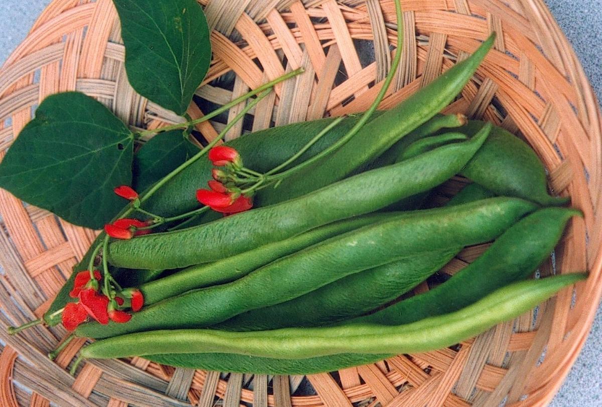 scarlet-runner-bean-seeds-edmonton-alberta