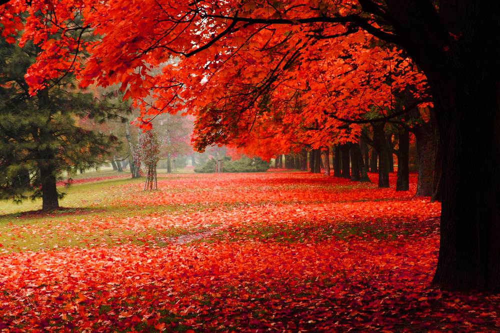 """Image result for canadian maple tree"""""""