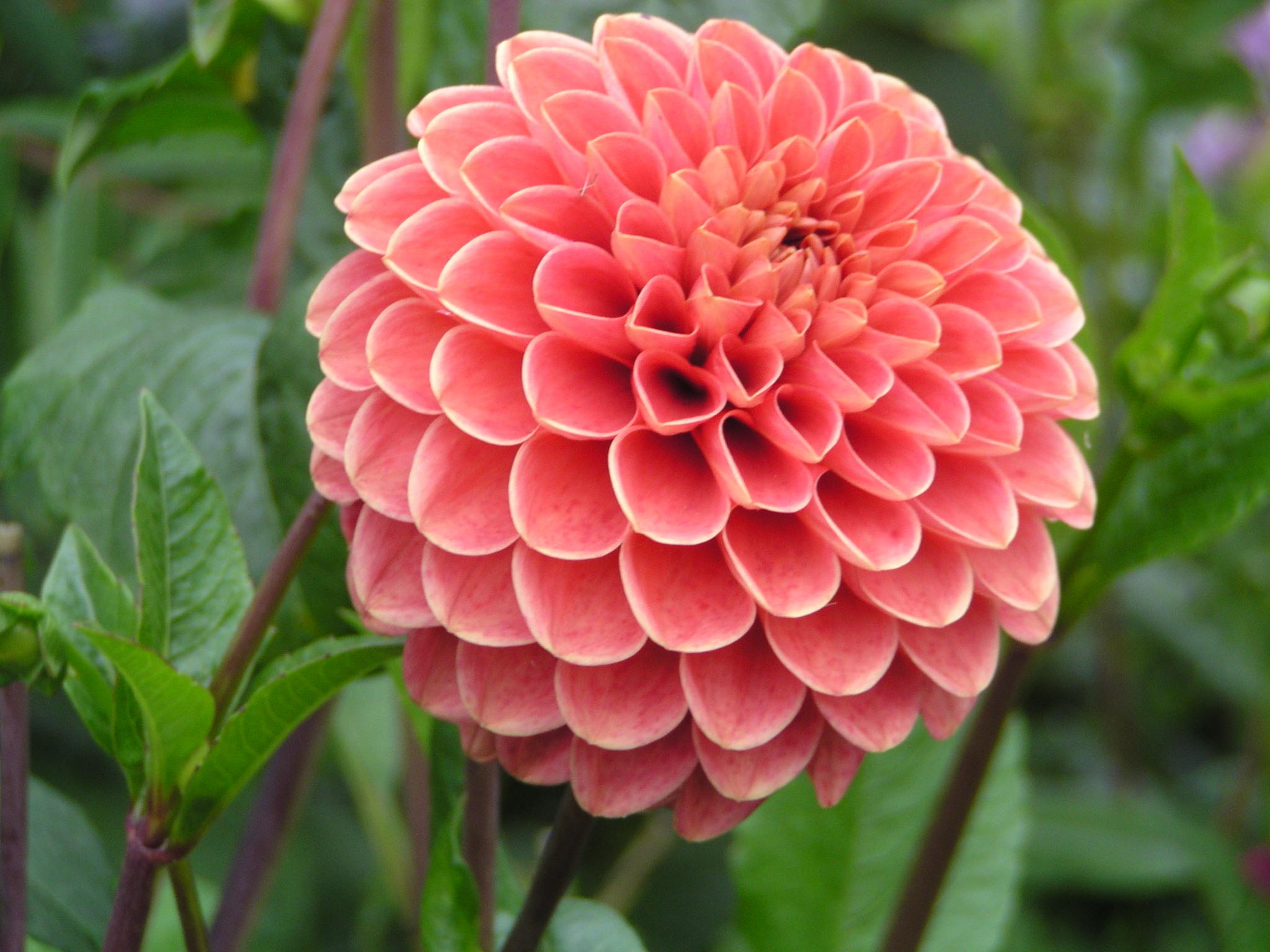 A Dahlia By Any Other Name    — Hole's Greenhouses