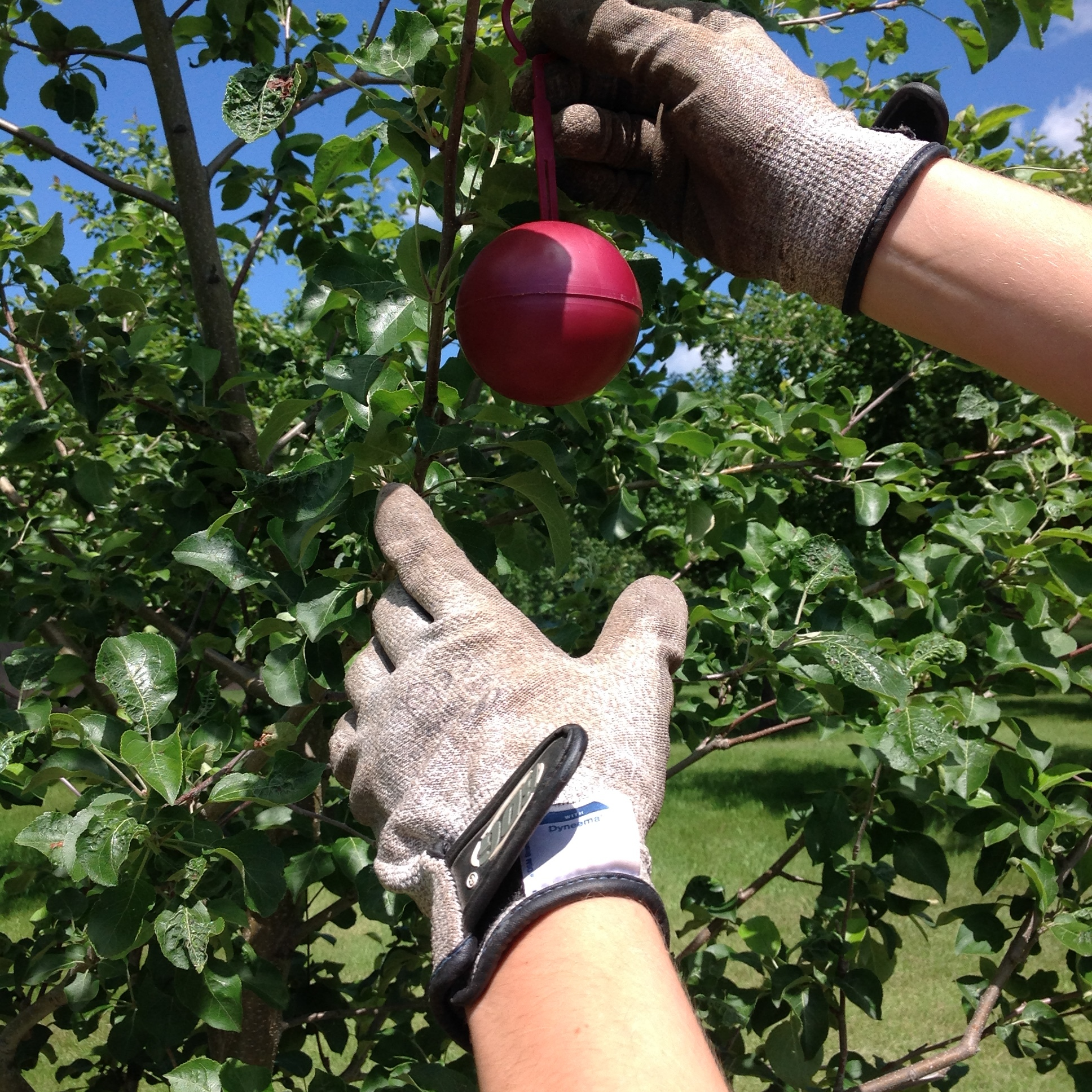 Step 2:  Hang apple maggot trap in your fruit tree.