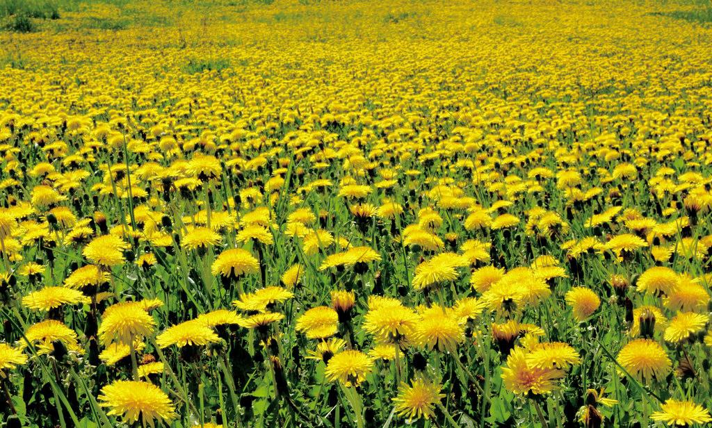 dandelions lawn