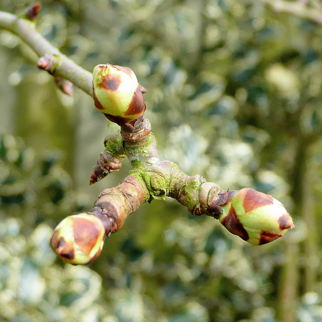 """Example of """"Bud Break"""" where you can see the green of the emerging leaves. Once bud break has happened, it is too late to apply Dormant Spray."""