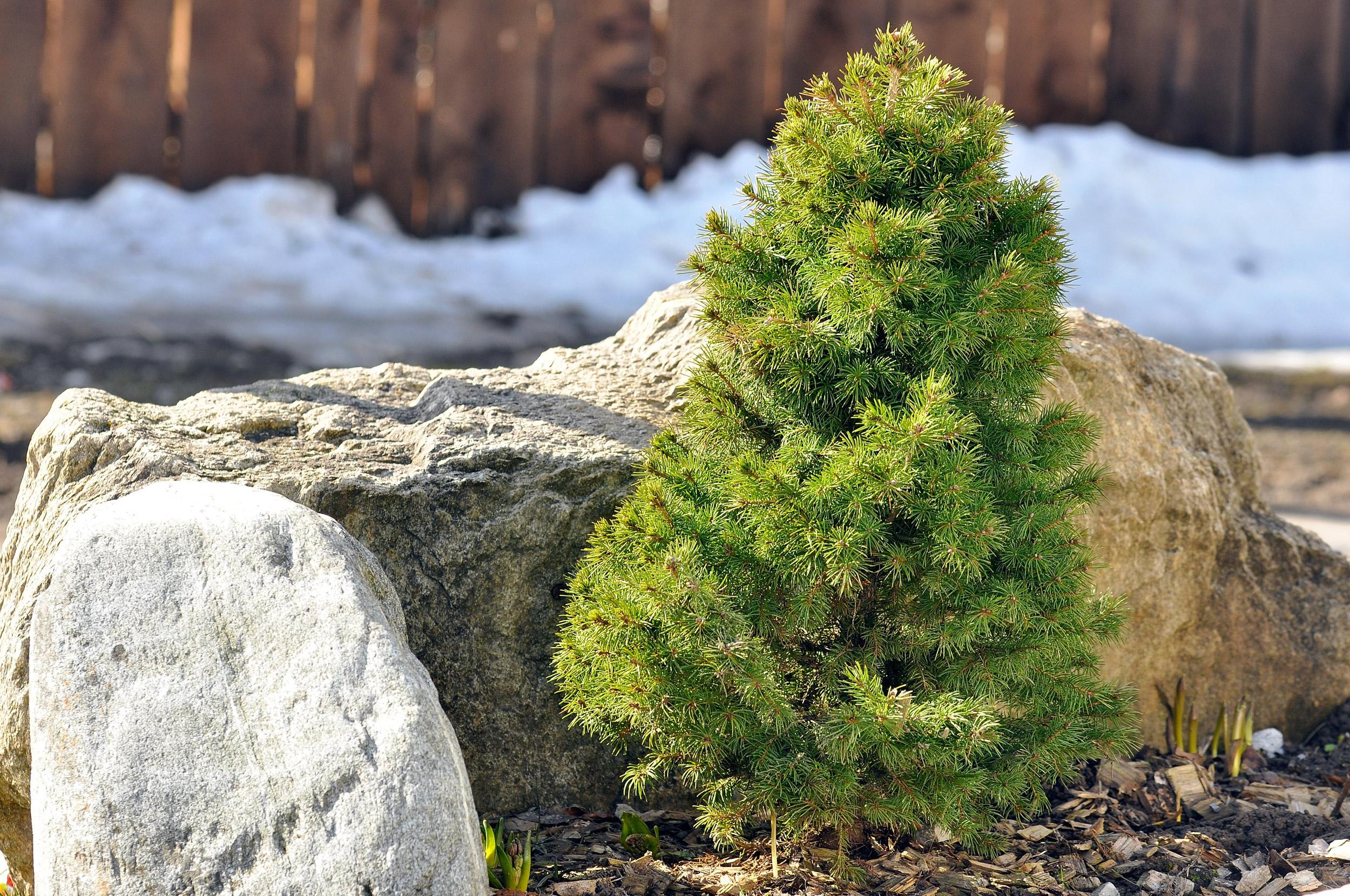 dwarf-fir-tree-in-spring-garden.jpg