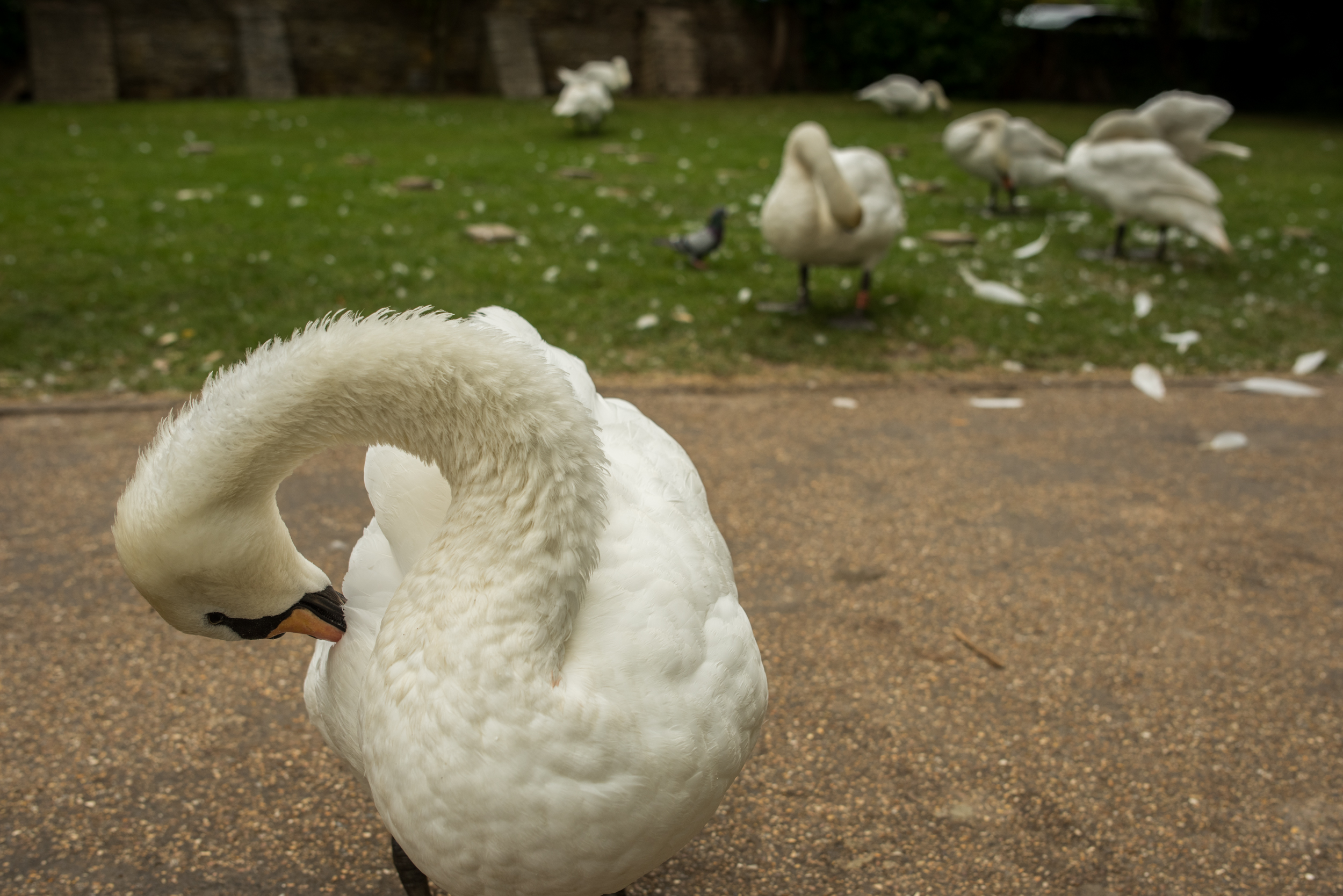Swans Grooming Themselves In Stratford-upon-Avon 2017