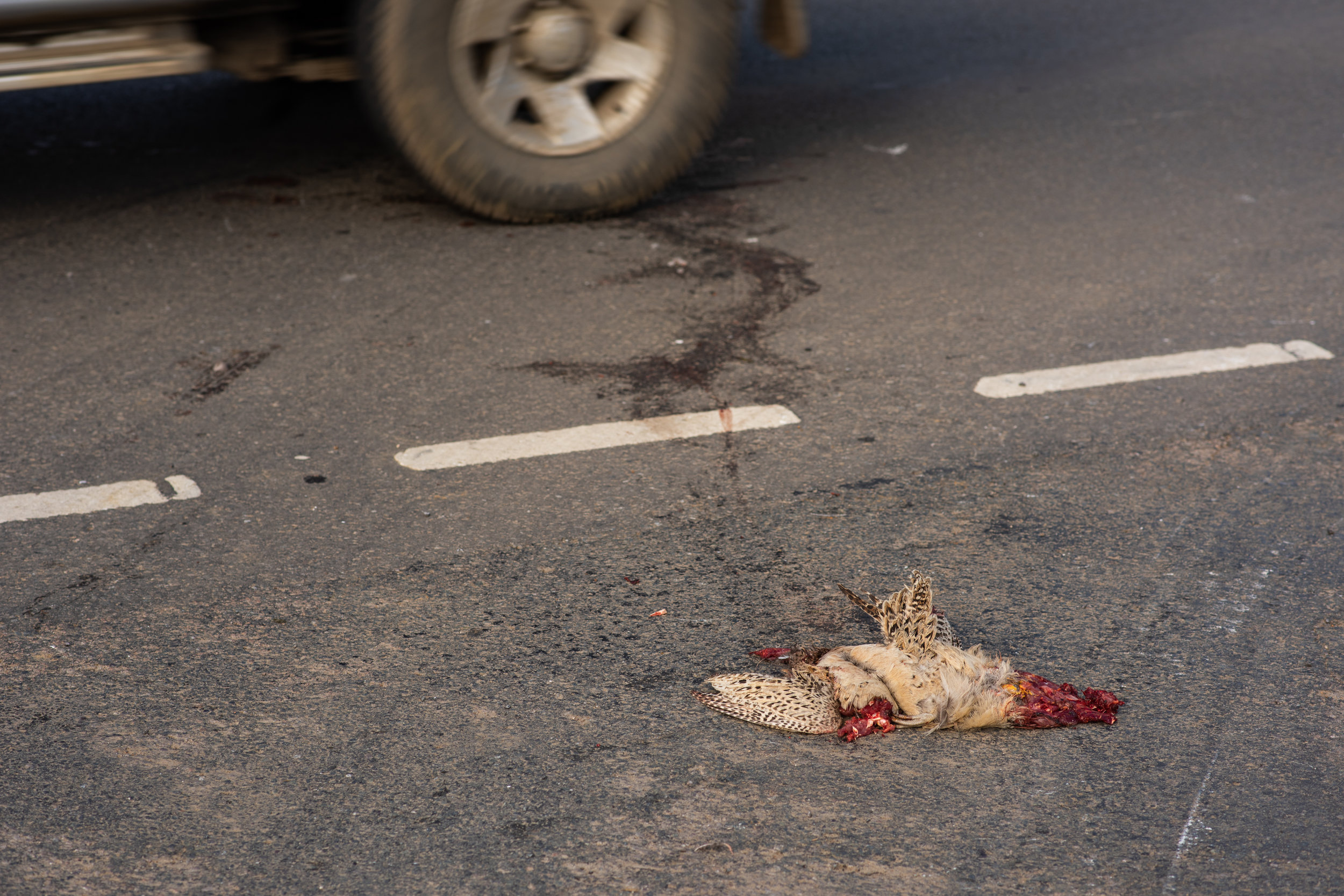 Roadkill Pheasant, Midlands, 2019