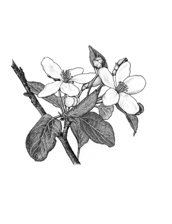 ss.apple blossoms001.jpg