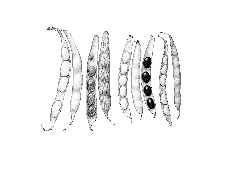 ss.shell beans.jpg
