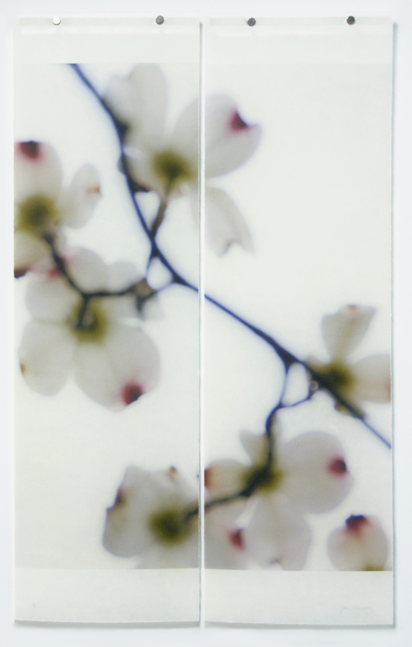 Dogwood (White/Red Tips)