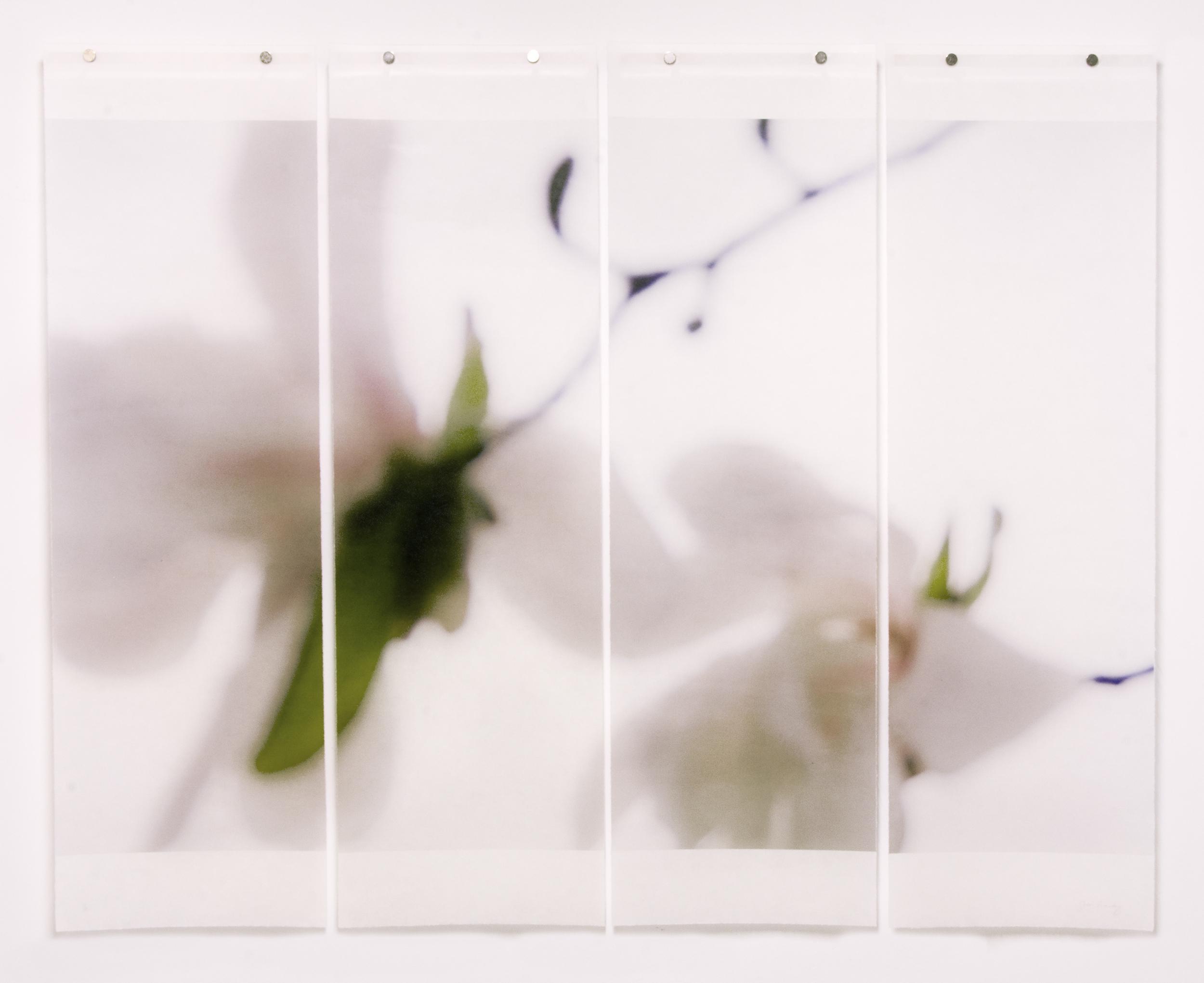 Star Magnolia, No.4