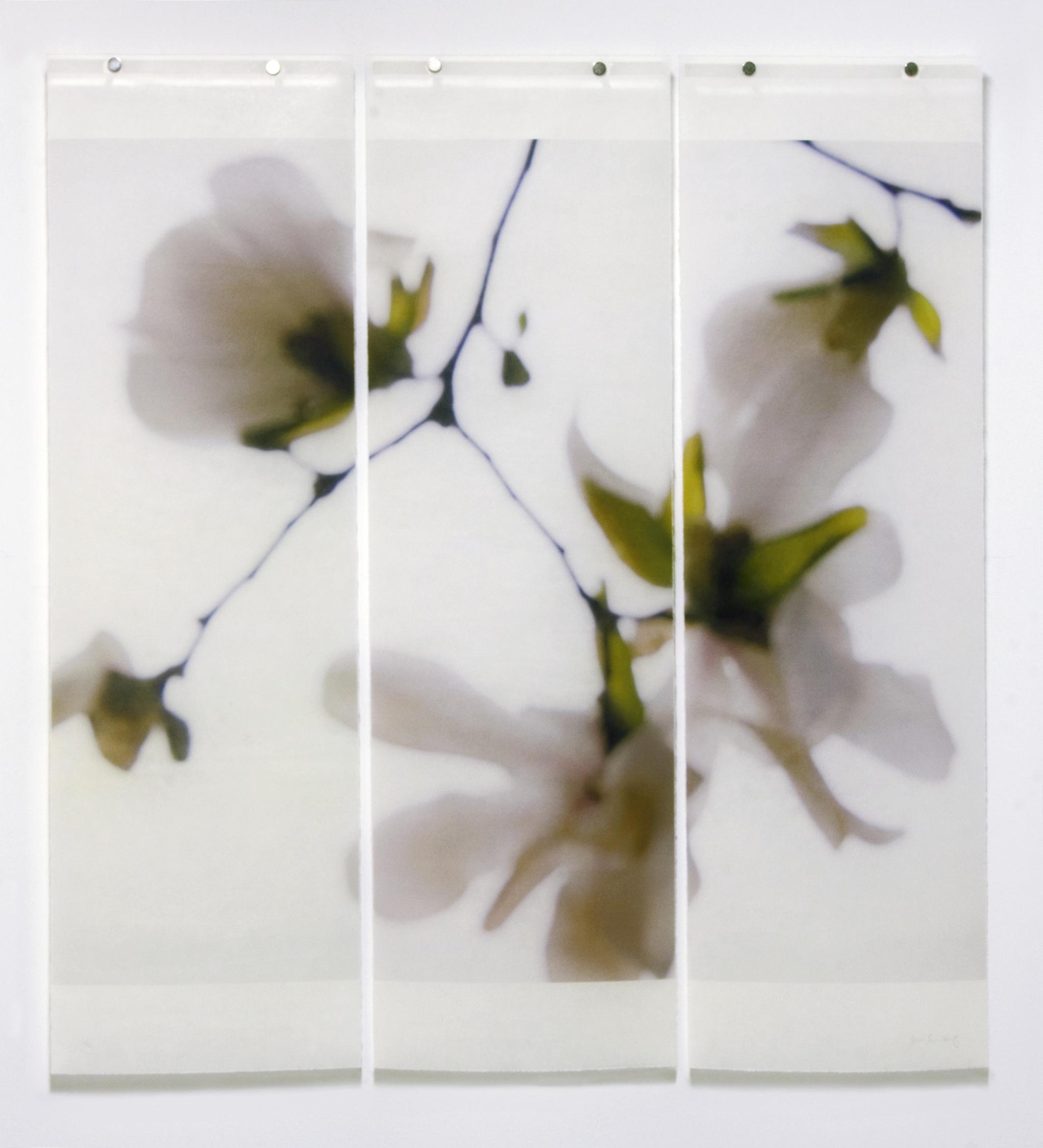Star Magnolia, No.8
