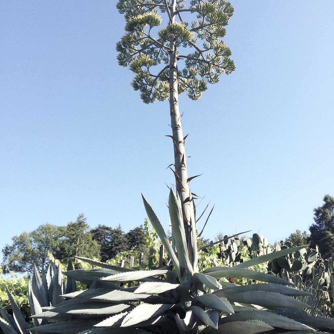 this agave is a TREE #agave #aloe #succulent