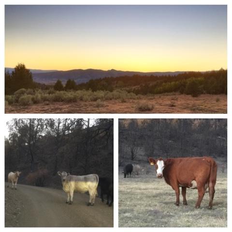 sunset_cows.jpg