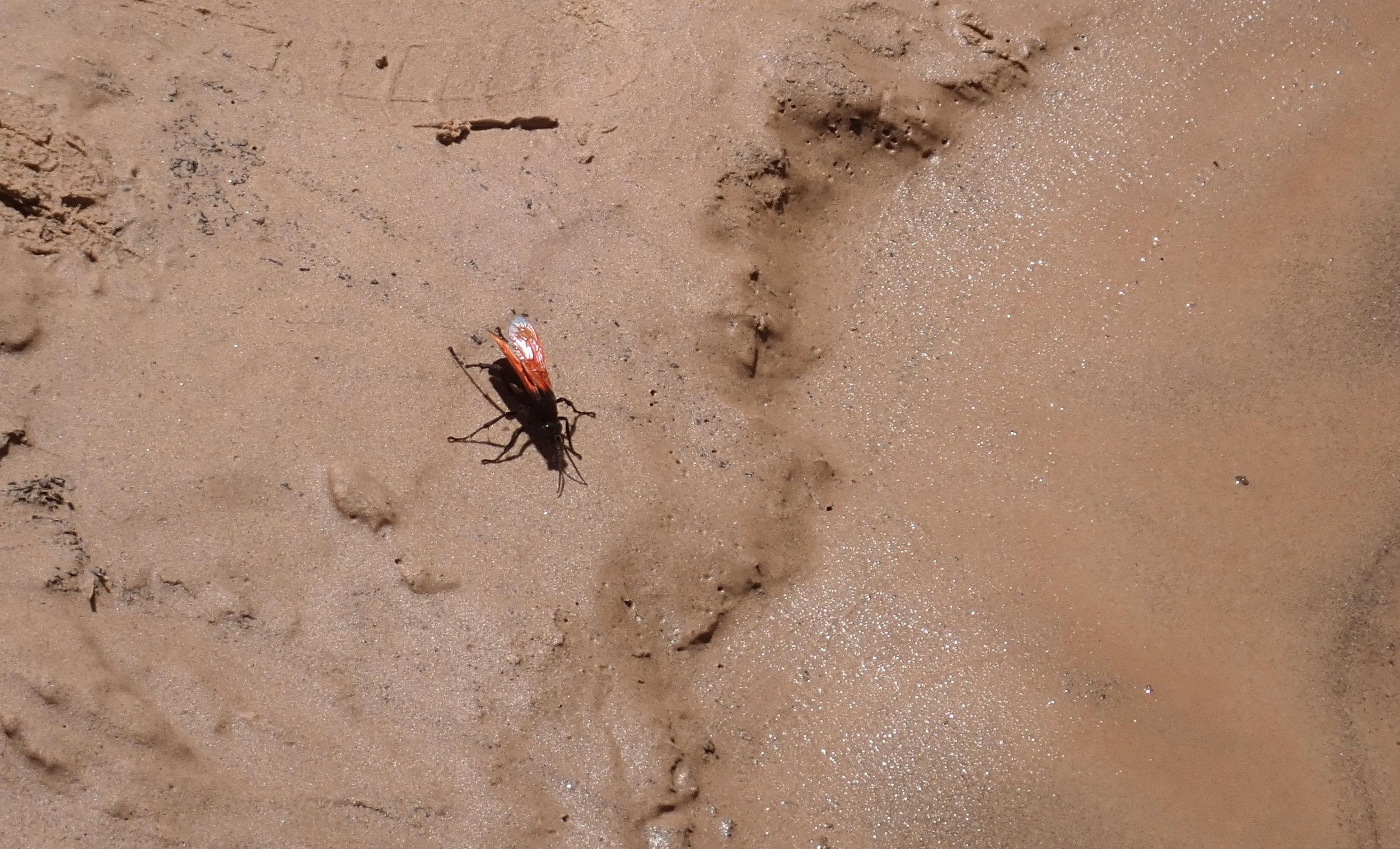 """This 3"""" flying creature is a Tarantula Hawk Wasp. Nasty, nasty"""