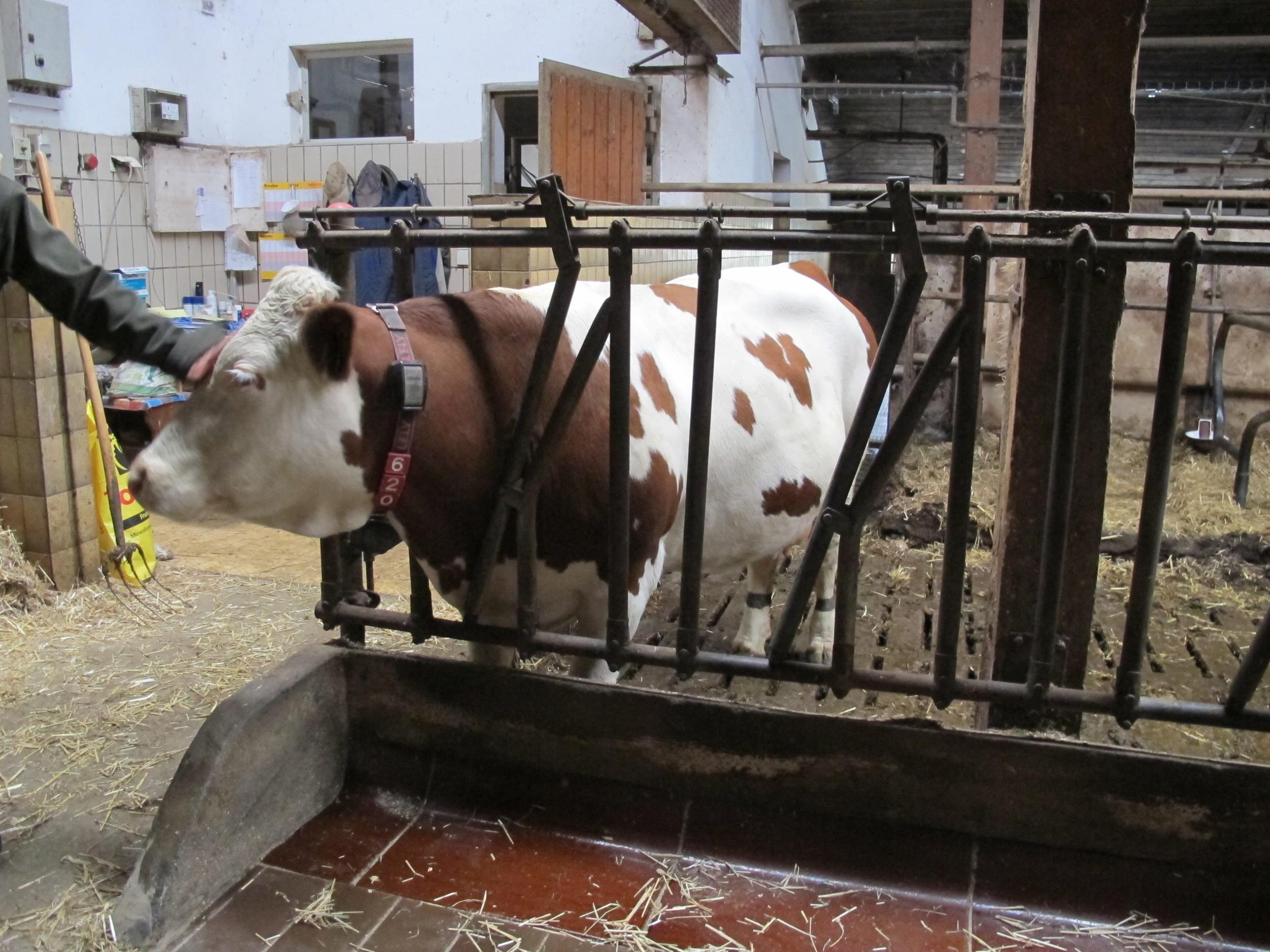 Visit to a cow farm in Dachau
