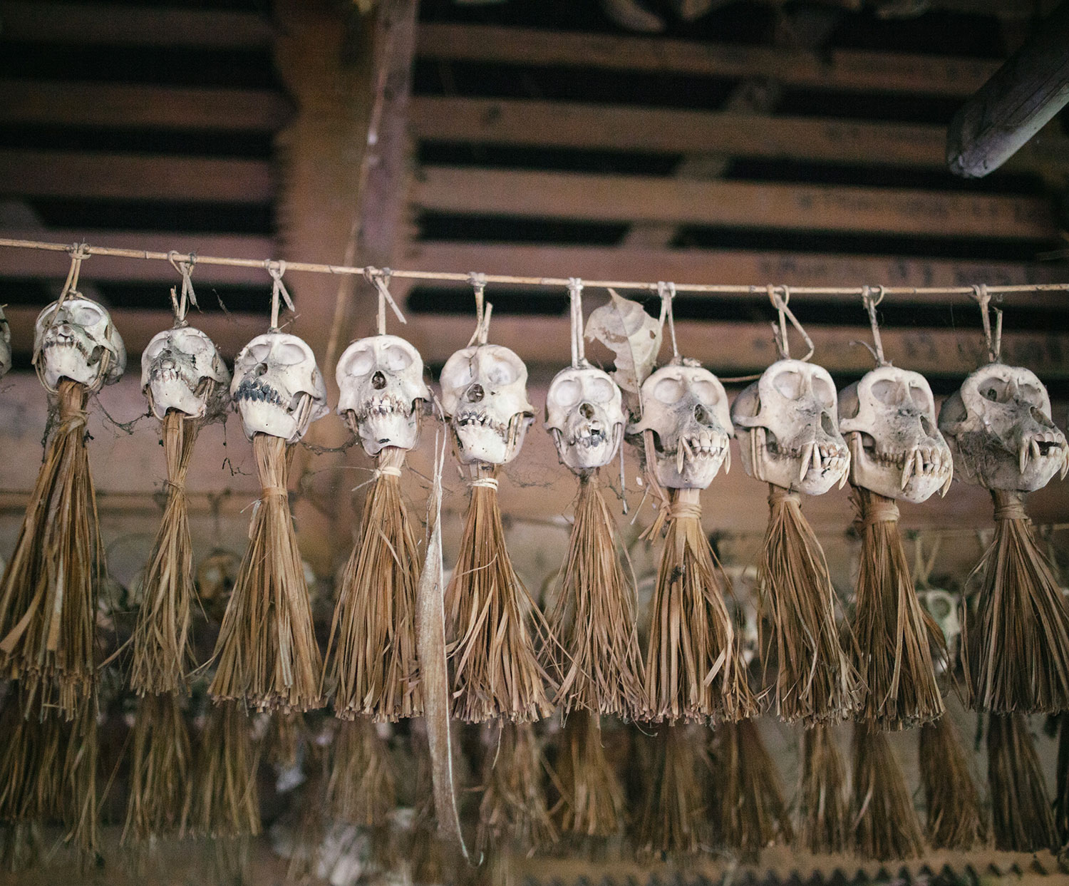 Monkey skulls hanging inside the  uma , Mentawai traditional dwelling.