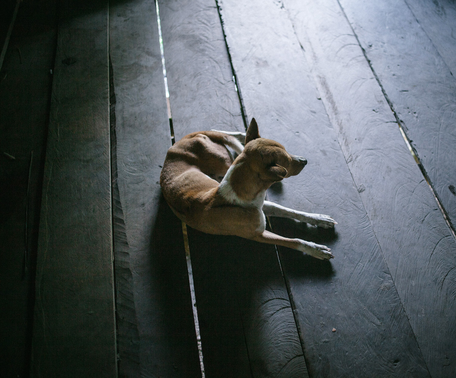 A dog considered part of every Mentawai family.