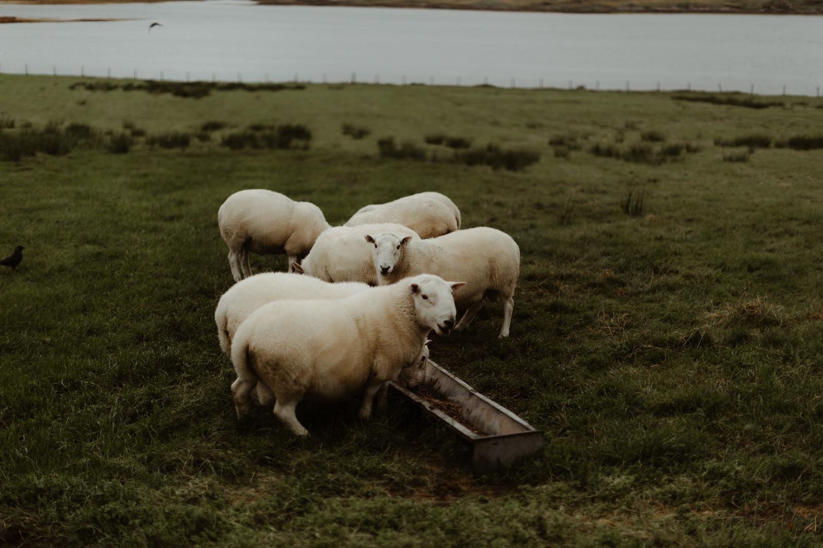 isle-of-skye-sheep-elgol-cruise