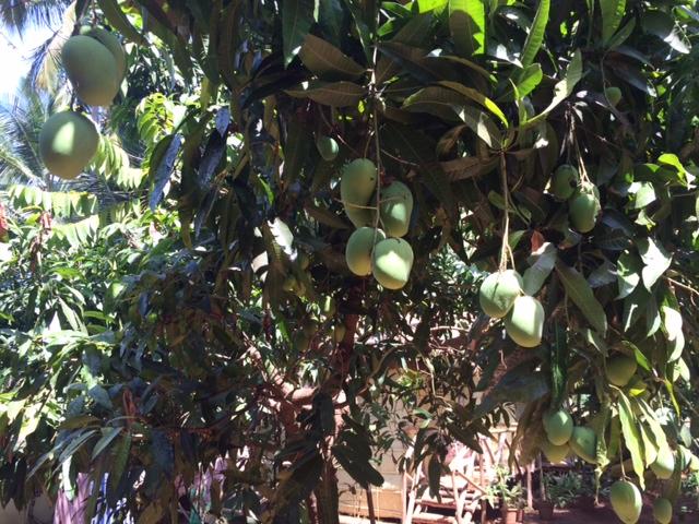 Nor do we have mangoes at home. Mangoes!