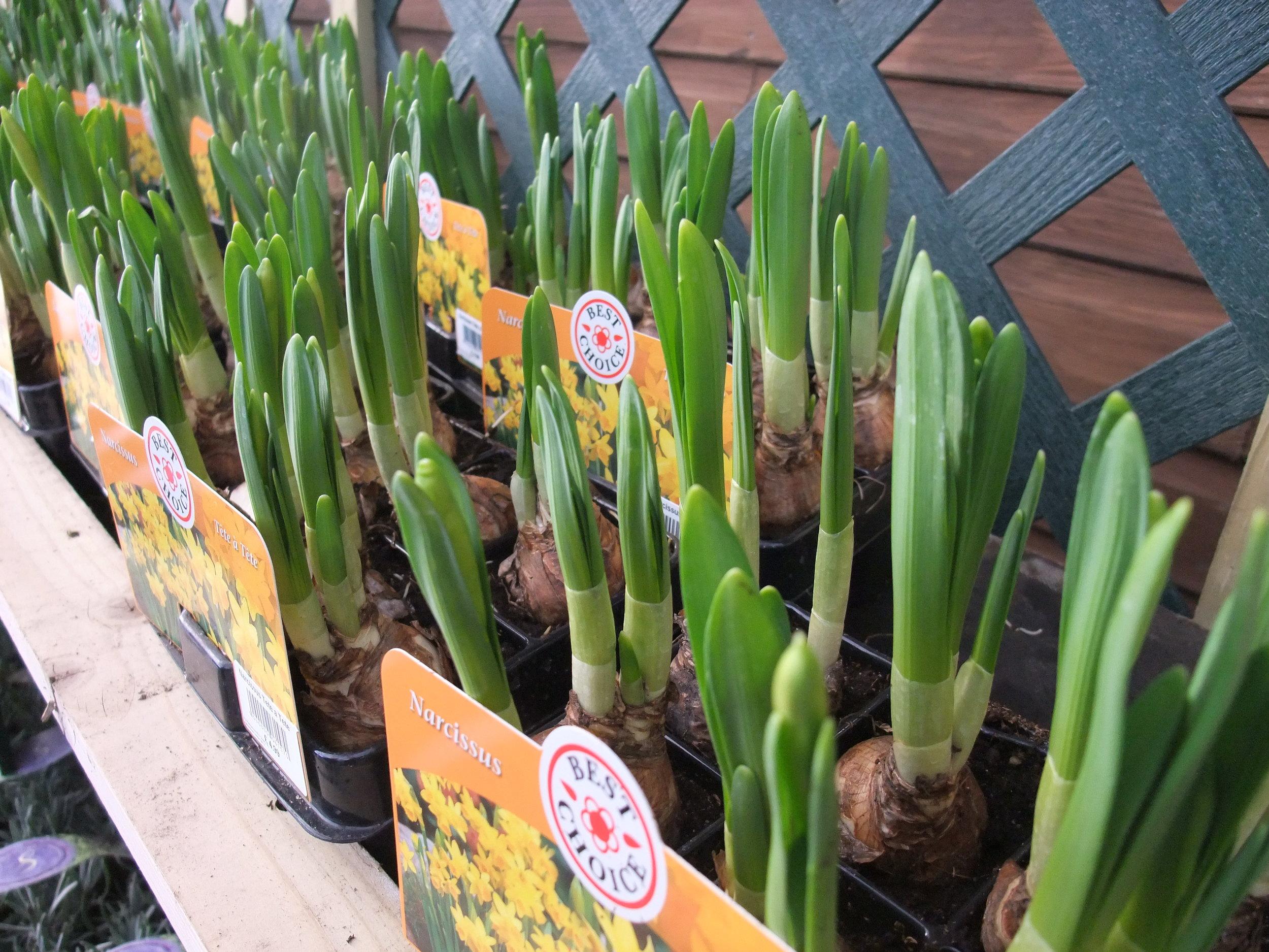 sprouting bulbs. image source patientgardener.wordpress.com