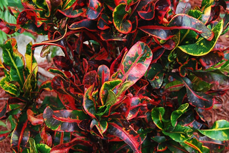 add colour with the colourful leaves of a Croton plant. image source caribbean-plants.com