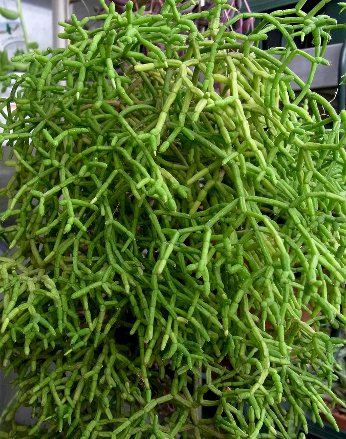 the Rhipsalis Plant. image source www.pinterest.com/ipulledthatlook
