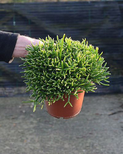 a cute bunchy look as a potted table top plant. image source houseofplants.co.uk