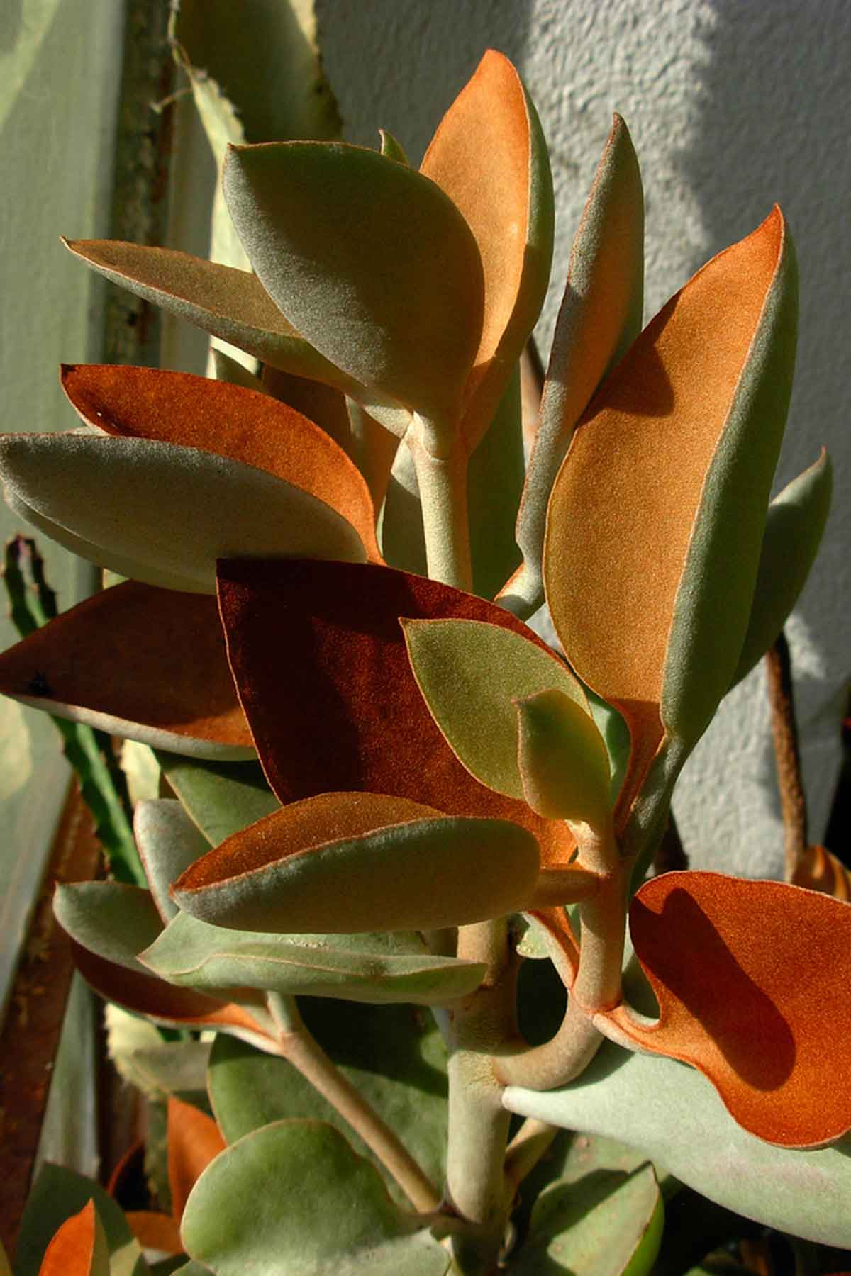 The Kalanchoe Orgyalis makes a great statement plant. image from taurielloanimaliorchidee on Flickr