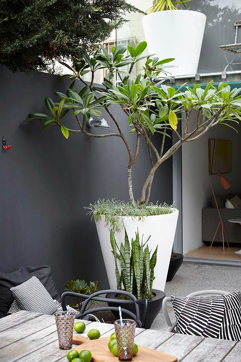 Frangipanni. Easy to propegate and comes in a variety of colours.  Image from Adam Robinson Design's Paddington project