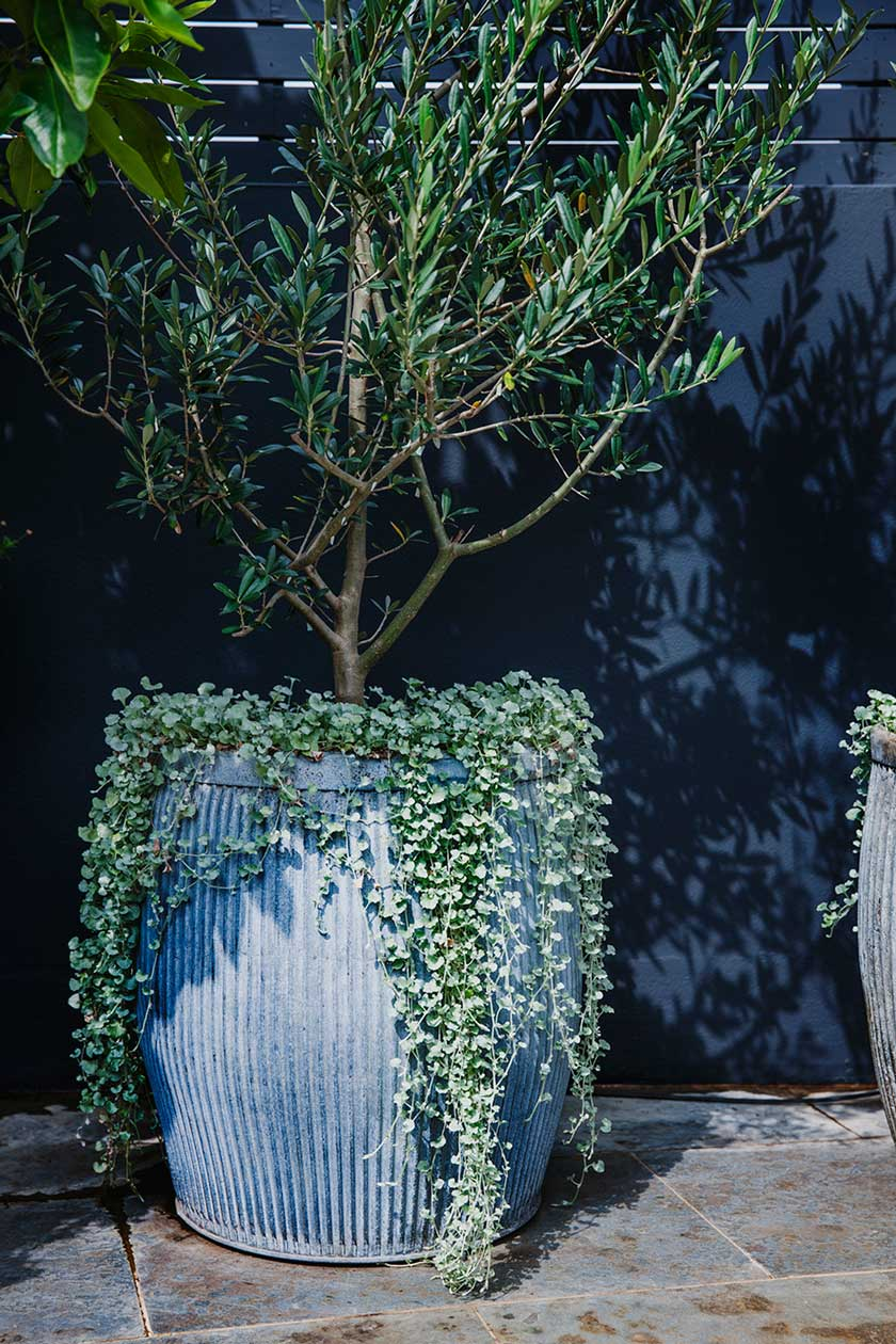 Olive tree. A contemporary use for a classic.  Image from Adam Robinson Design's Redfern Rooftop project