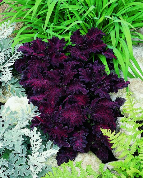 coleus_blackdragon from Flaming Petal Blog.jpg