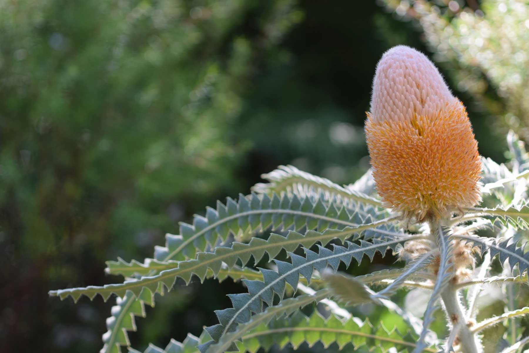 ©-Adam-Robinson-Design-Banksia-Prionotes-The-Orange-Banksia-03.jpg