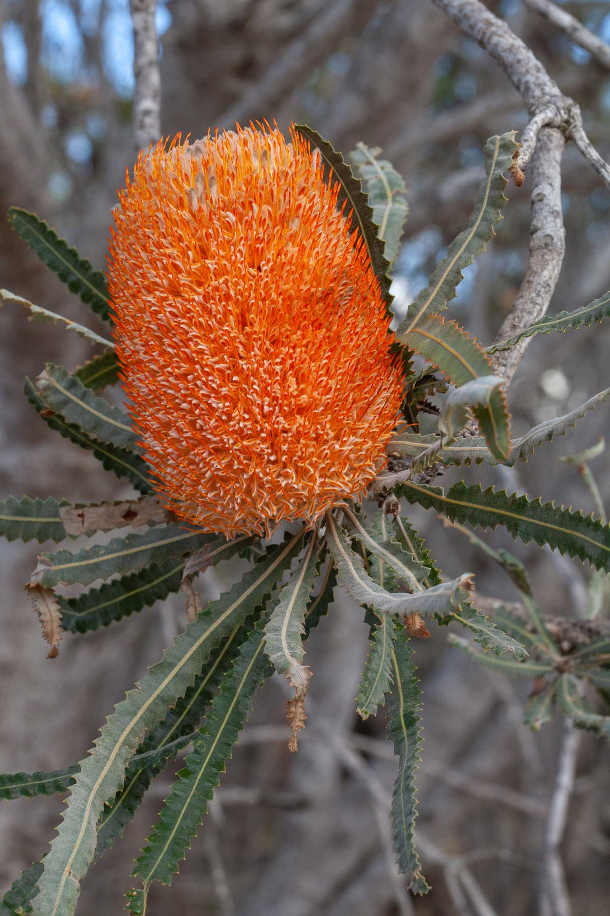 ©-Adam-Robinson-Design-Banksia-Prionotes-The-Orange-Banksia-05.jpg