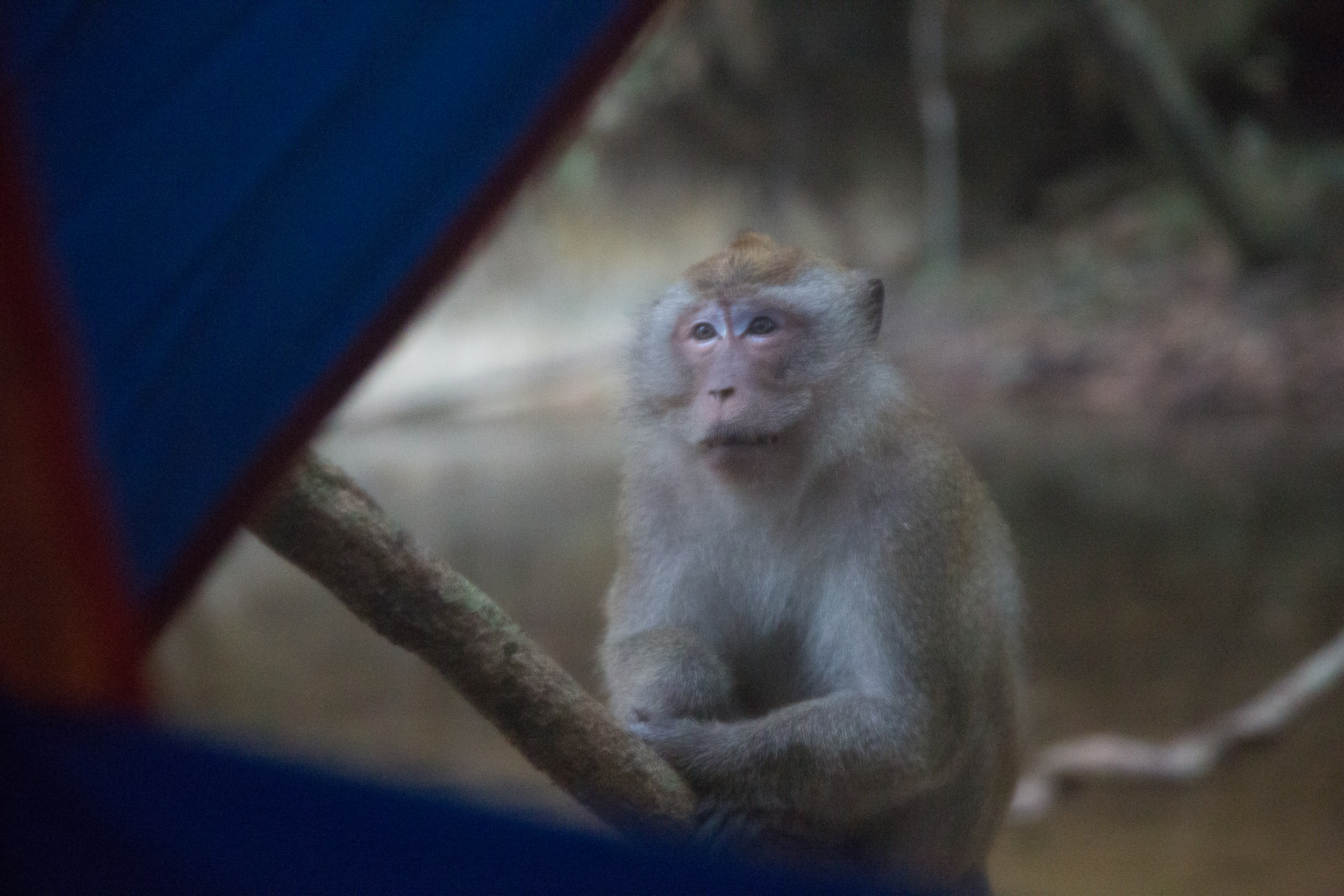 A curious long-tailed macaque approached my tent at sunrise.