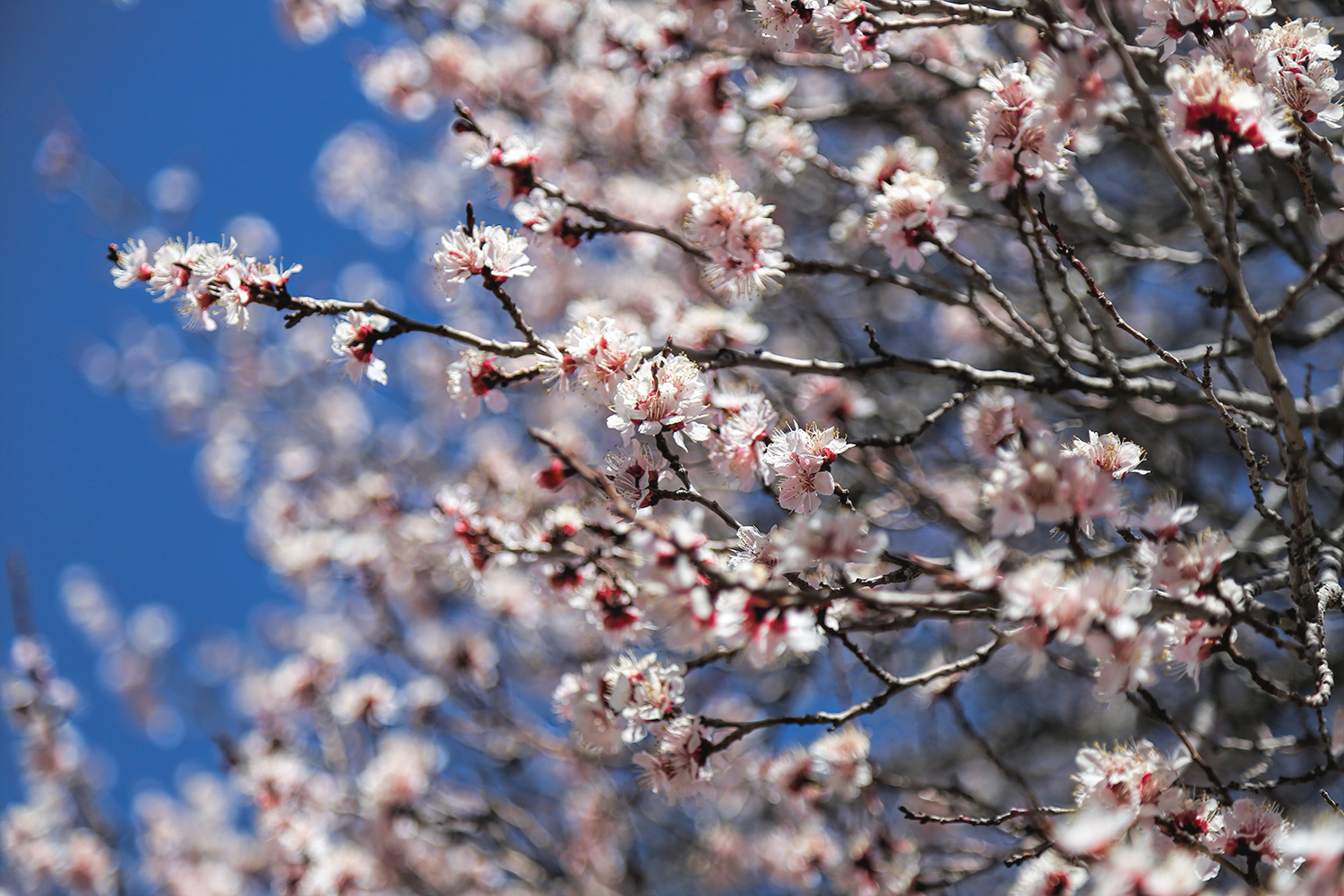 cherry-blossoms.jpg