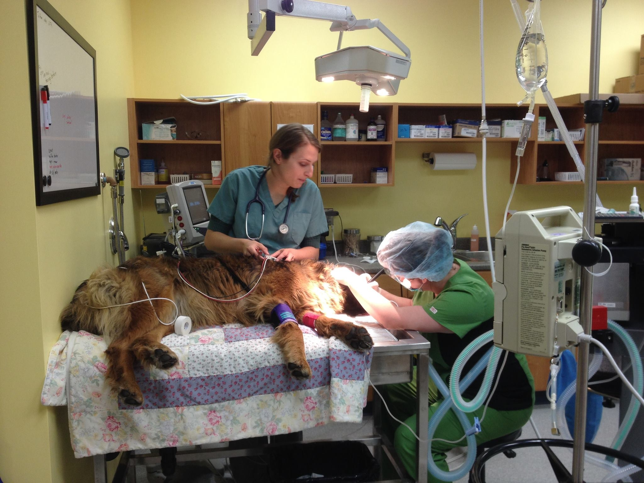 Dr. Fuller's dog Charlie having her teeth cleaned by our Technician Kelly