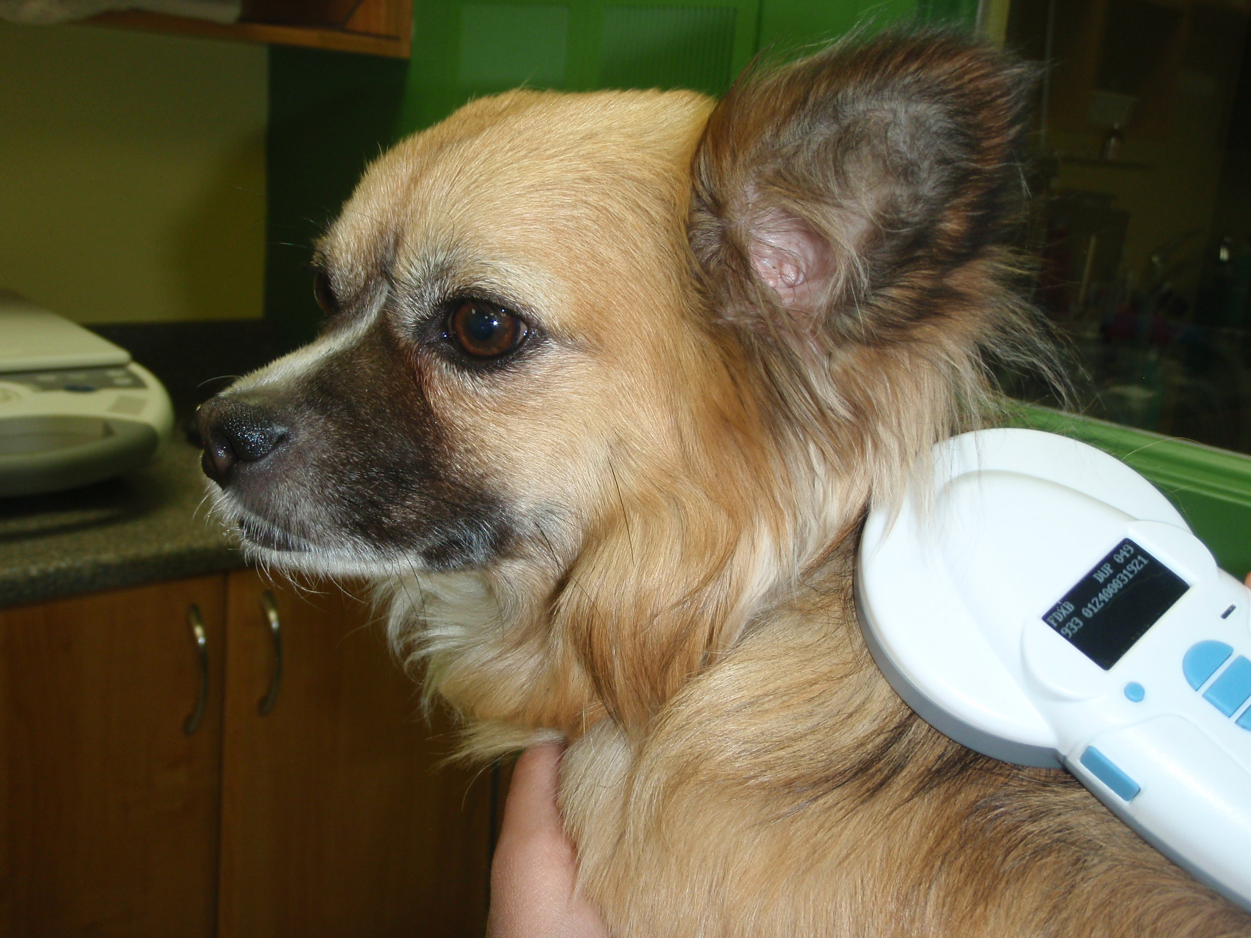A patient being scanned for a microchip. Each transponder has a unique number which will allow your pet to be traced back to you.