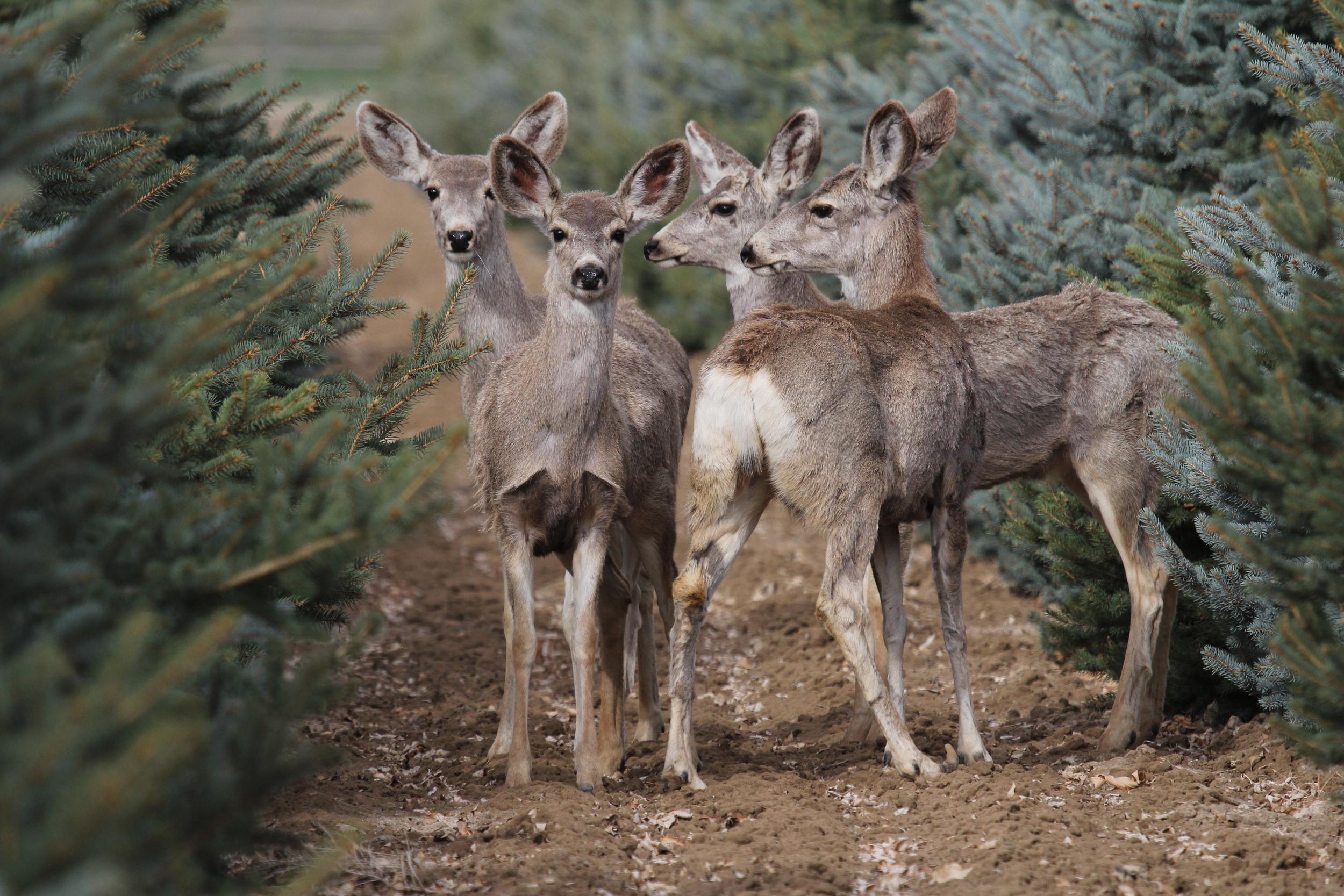 20120325 BVF mule deer (8).jpg