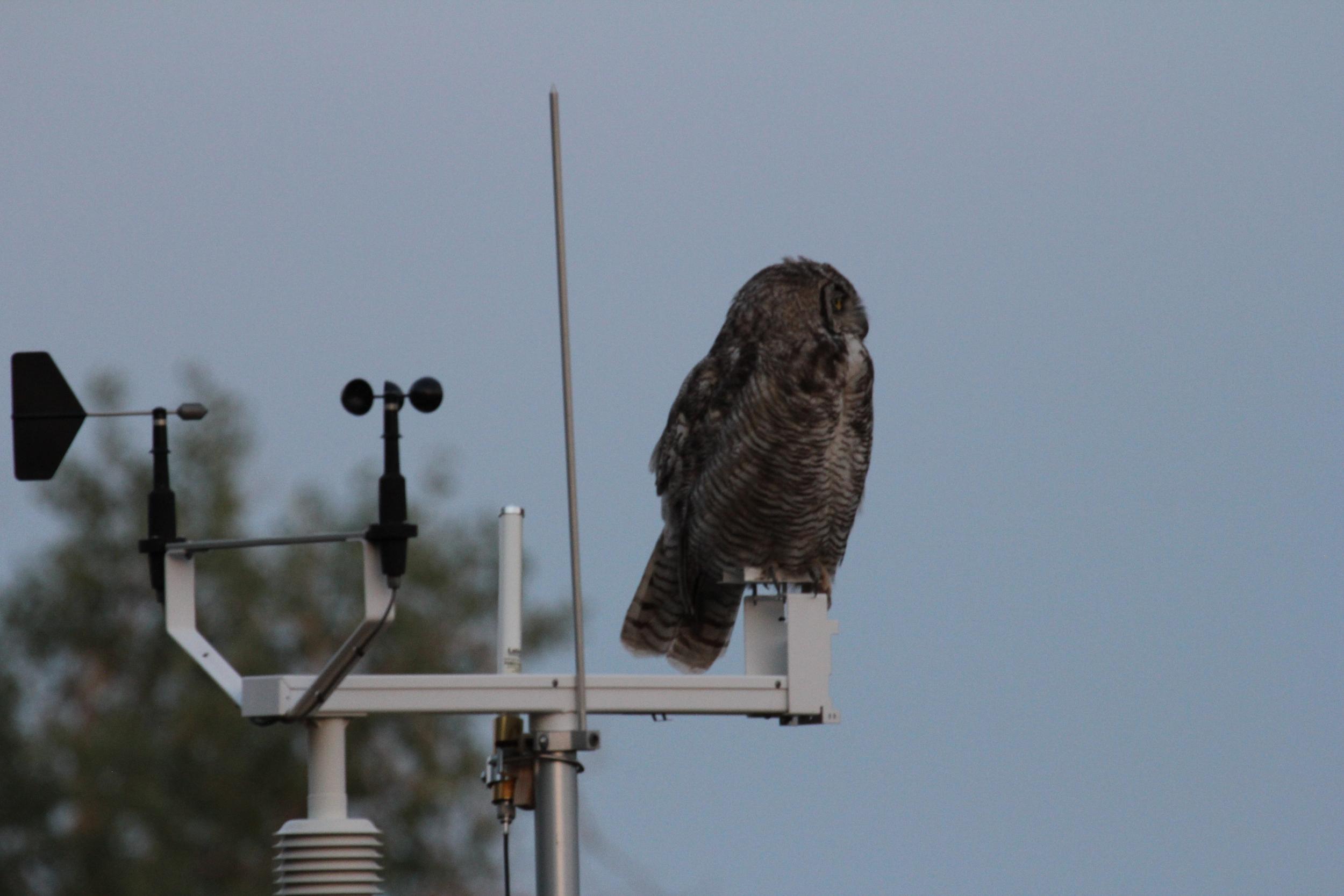 20130715 BVF owl (22).jpg