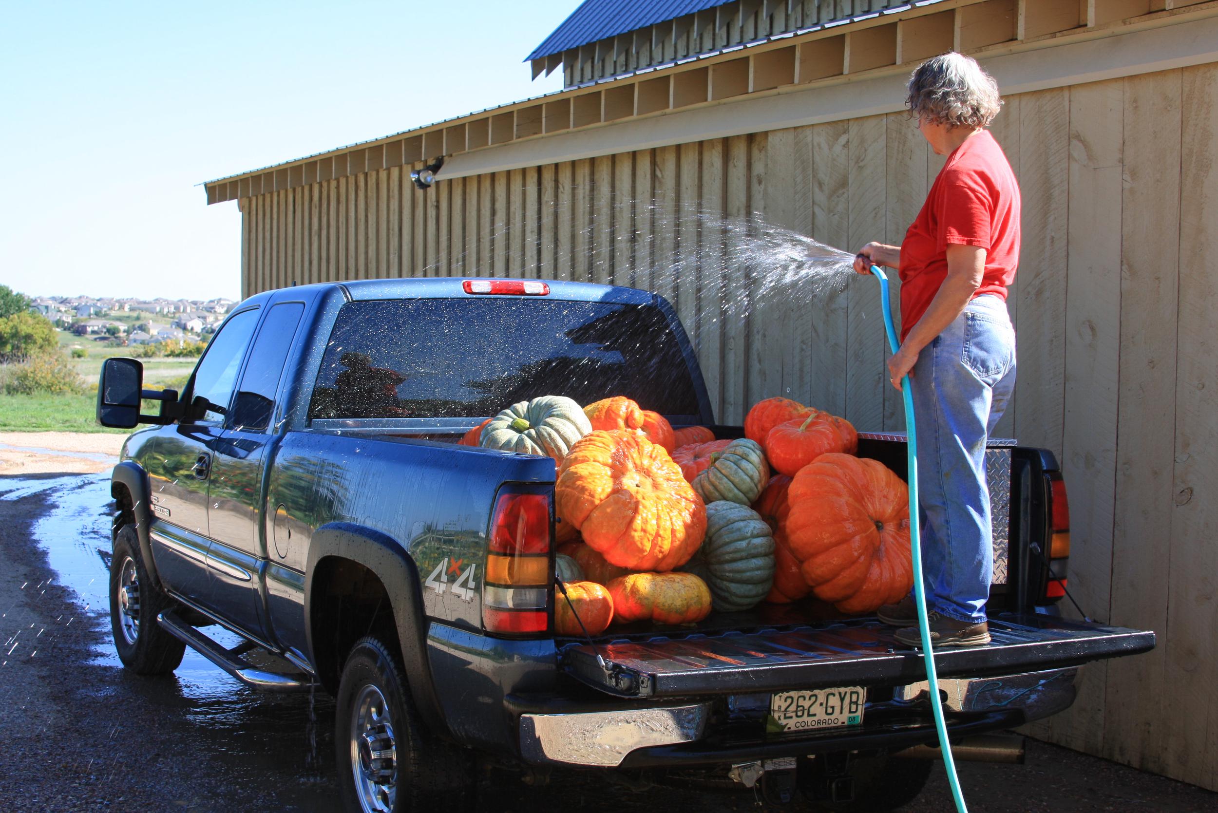 pumpkin harvest Sept 2008 (3).jpg