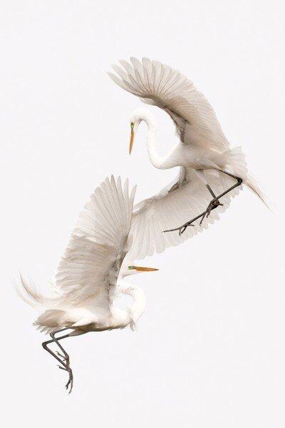 Audubons Hello 30x20 (Sandpiper's conflicted copy 2014-03-14).jpg