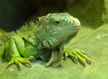 Green lizard © Issalina | Dreamstime.com
