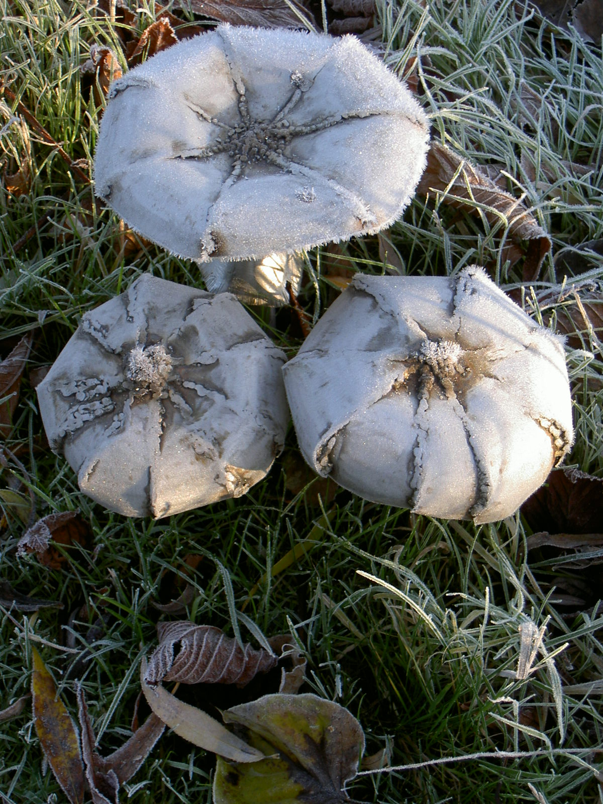 Winter toadstools.jpg