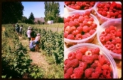 Above left, youth campers help harvest vegetables. Right, sumptuous raspberries from the farm.