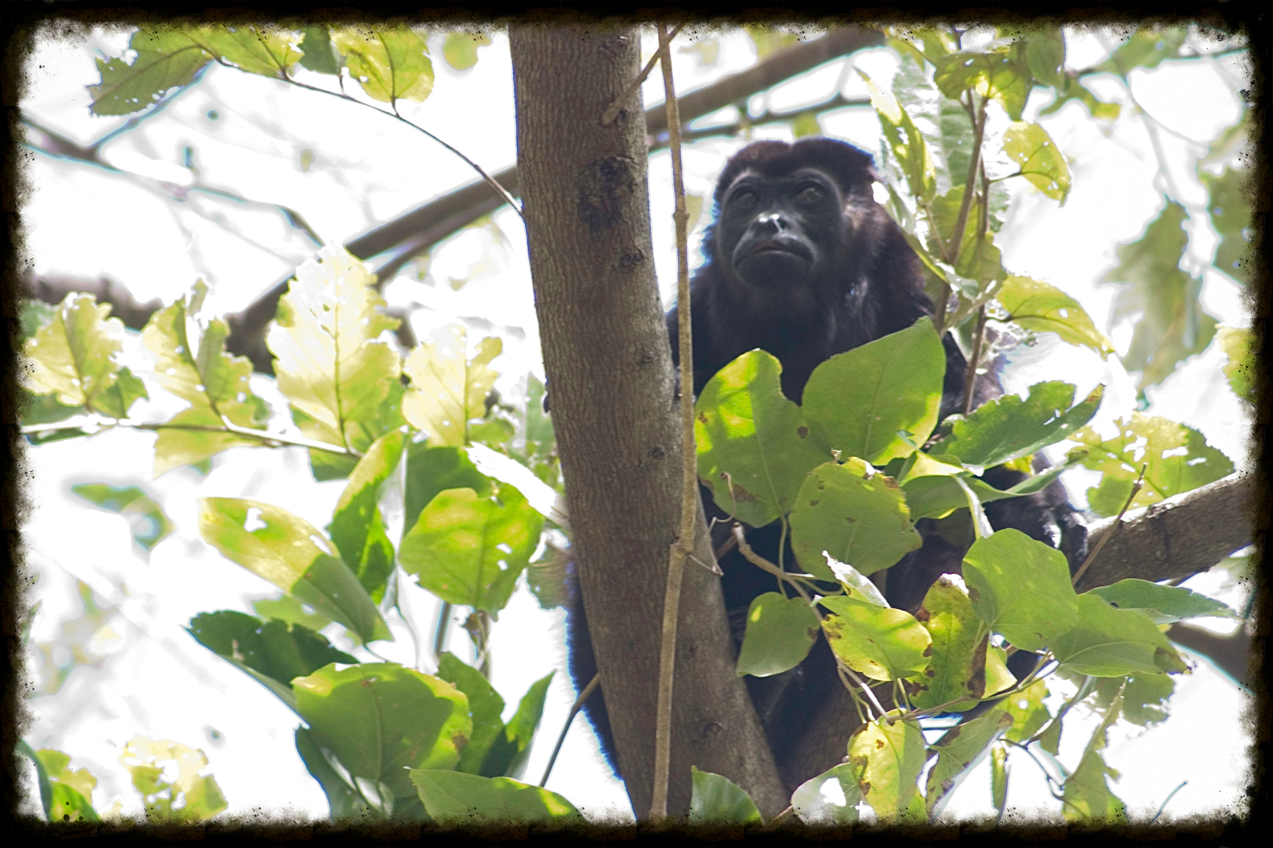 One of the many howler monkeys we saw near the pool