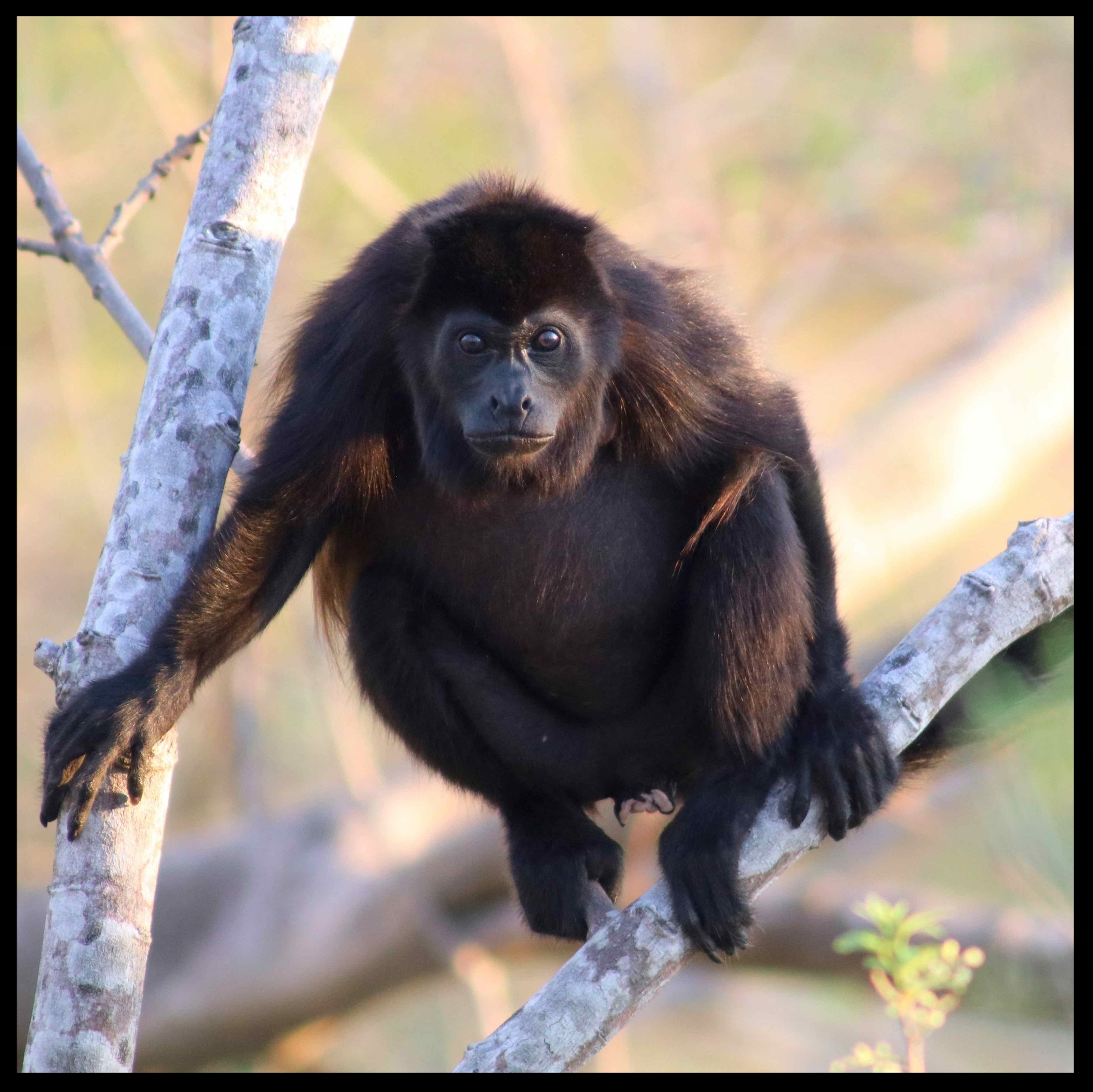 A howler monkey rests in a tree outside Casa Buenavida, Finca Las Nubes. It was a treat to watch the monkeys--even babies--either in the morning during breakfast or at sunset.  Photo by Michael Mundt