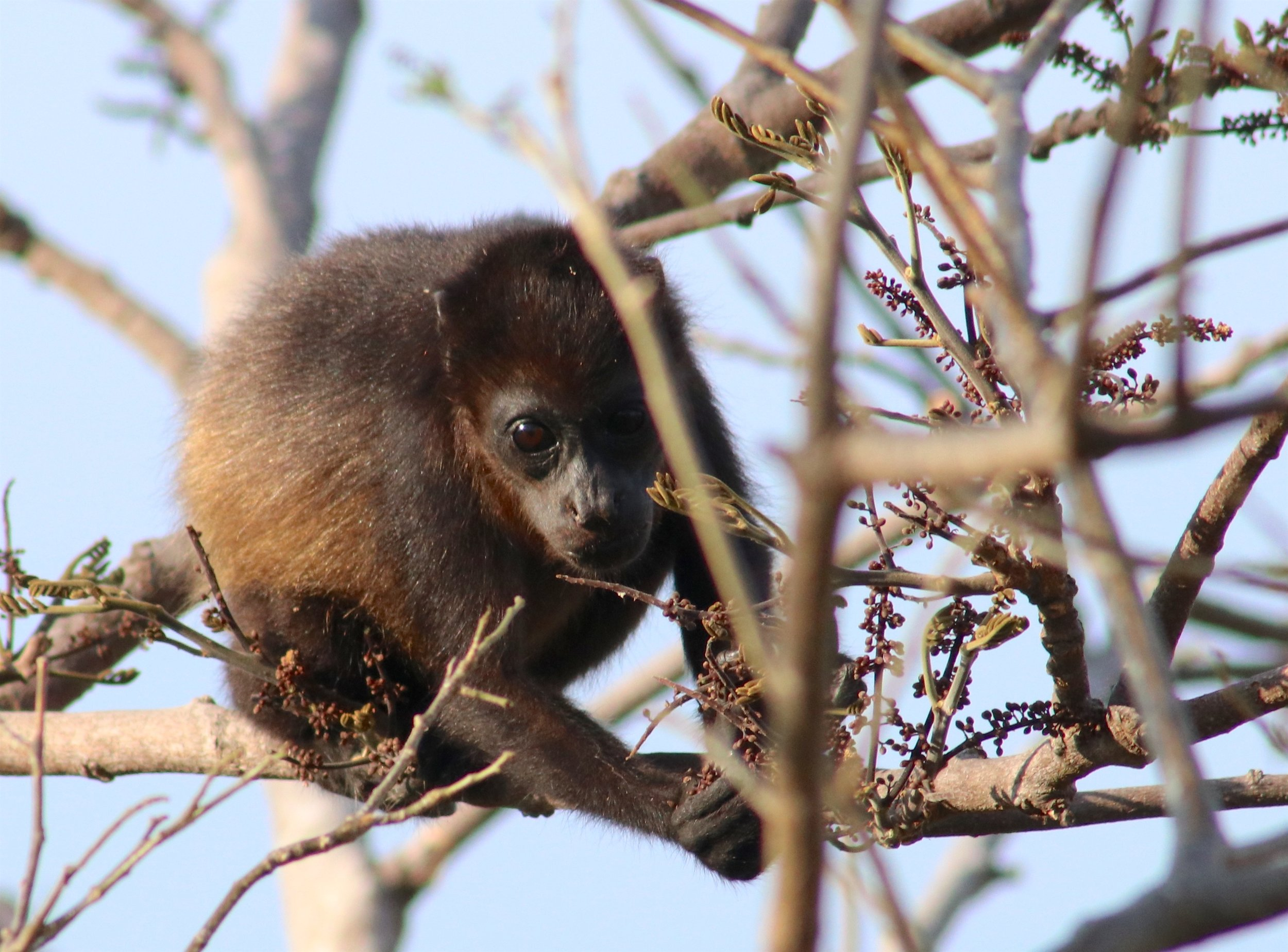 A baby howler monkey climbs a tree outside of San Juan del Sur.   Photo by Brody Mundt. Gallery photos (below) by Heather & Michael Mundt.